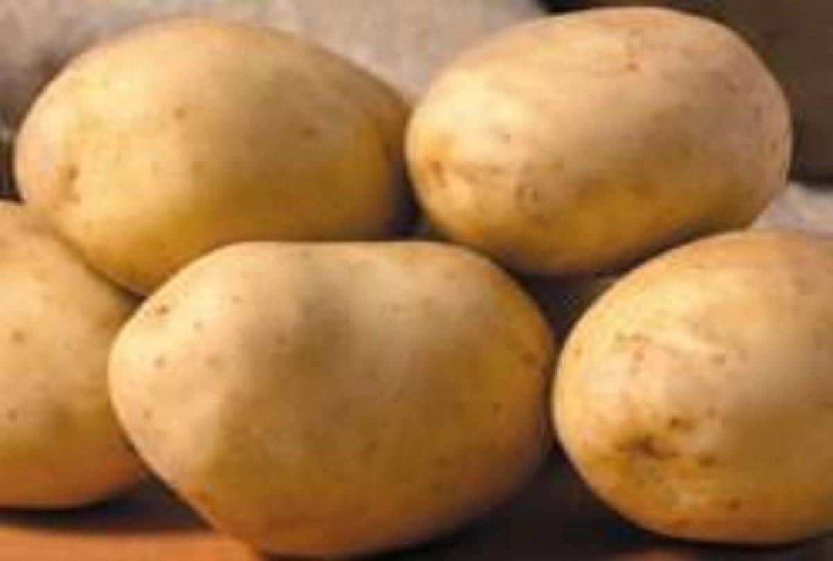 Картофель бриз: характеристика сорта, особенности выращивание и ухода