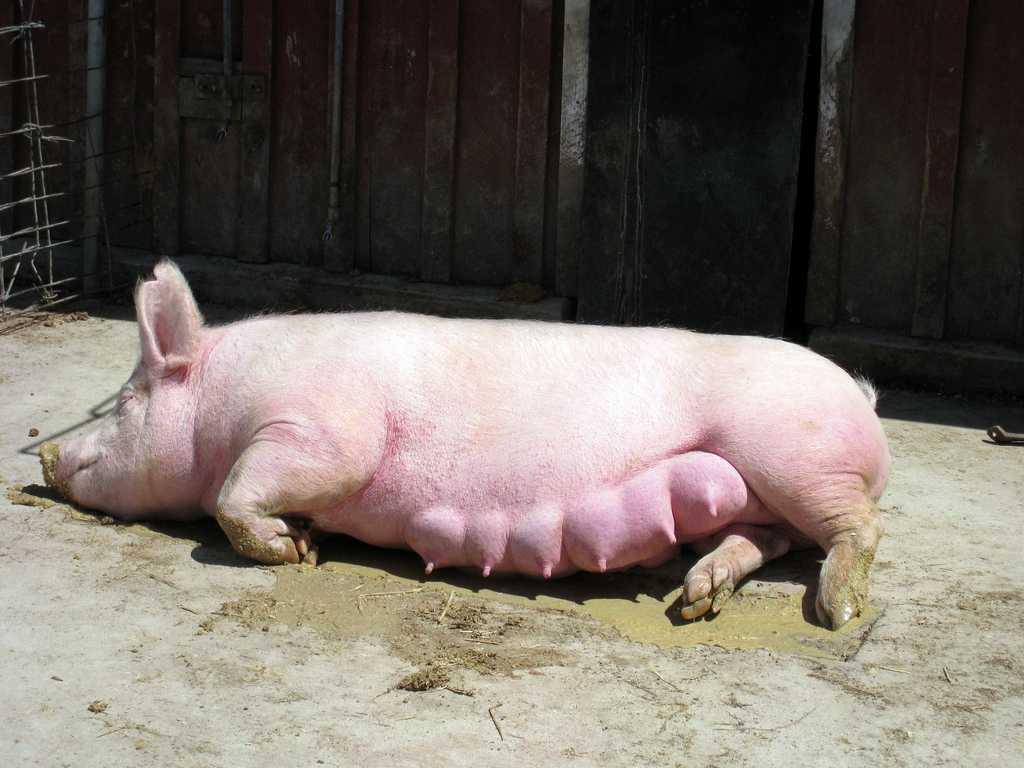 Можно ли определить беременность у свиньи с помощью теста на беременность