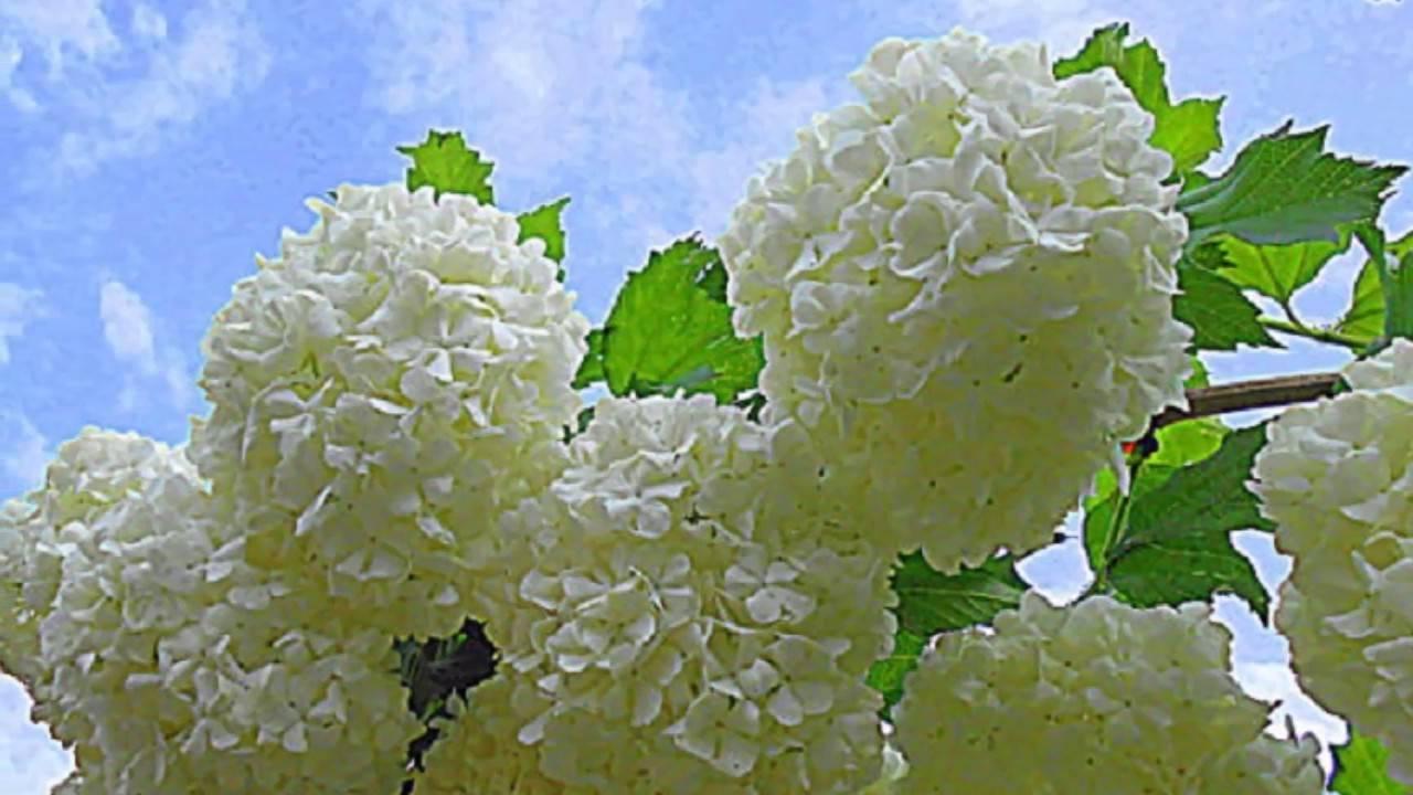 Лучшие кустарники цветущие все лето зимостойкие для участка. | красивый дом и сад