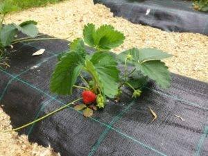 О сорте клубники полка: описание, агротехника выращивания, как ухаживать