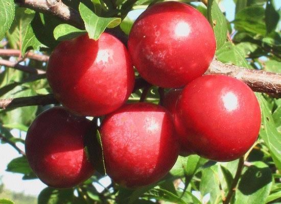 Высокоурожайная и сладкая слива «скороплодная»