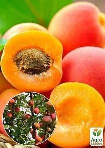 Колоновидные абрикосы: популярные сорта, особенности посадки и ухода