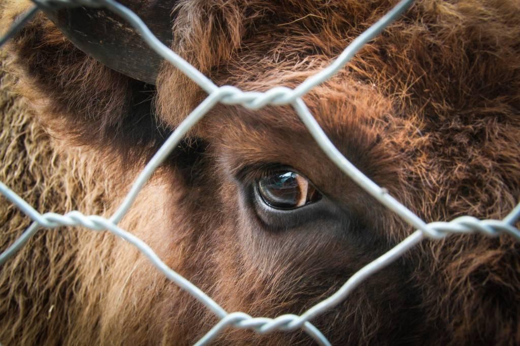 Мастит у коров: причины, симптомы, лечение и профилактика