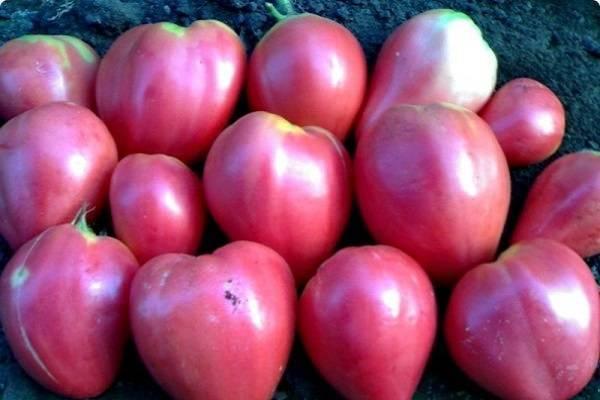 Лучшие сорта томатов 2020 года: отзывы, форум дачников, как выбрать для регионов, видео