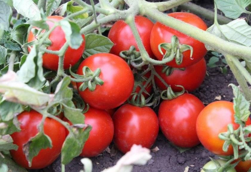 Помидоры «оля»: описание, агротехника выращивания