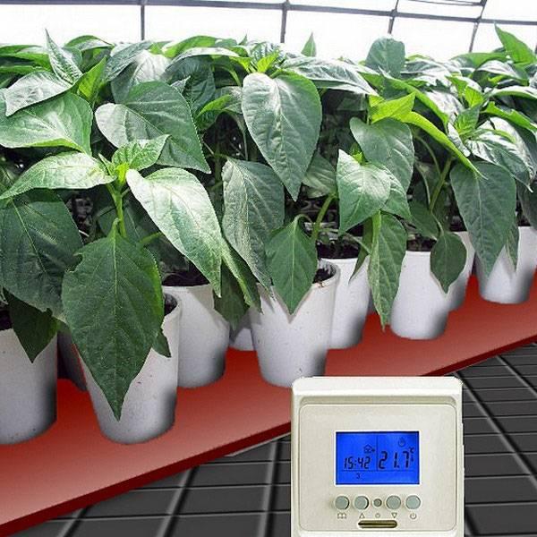 Выращивание рассады перца сладкого из семян в домашних условиях