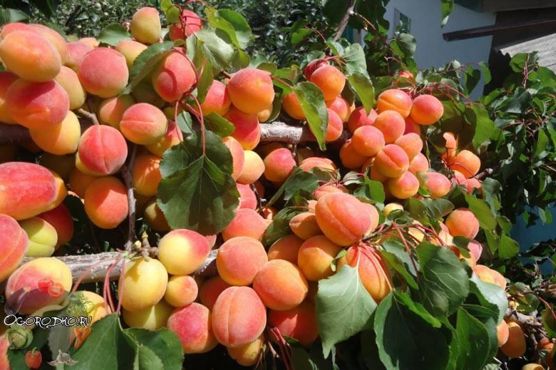 Посадка абрикоса в средней полосе или на урале