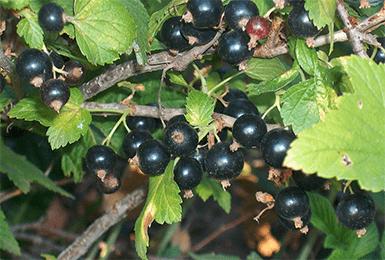 Сорт чёрной смородины чёрный жемчуг: урожайность, вкусовые качества