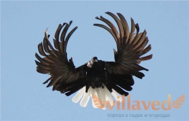 Высоколетные николаевские голуби