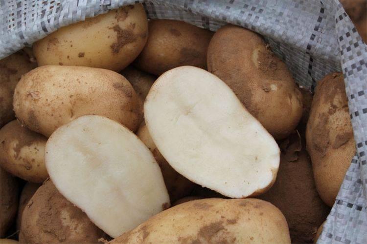 Картофель лорх характеристика сорта отзывы вкусовые качества