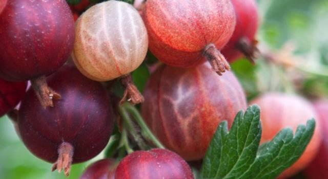 Крыжовник черносливовый – 11 главных особенностей и советы по выращиванию