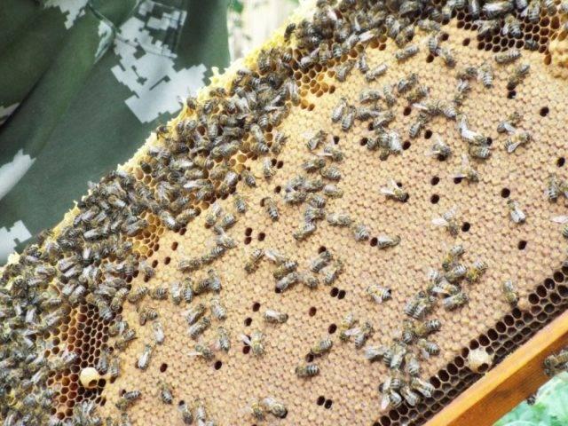 Лозеваль – комплексный препарат для лечения пчел