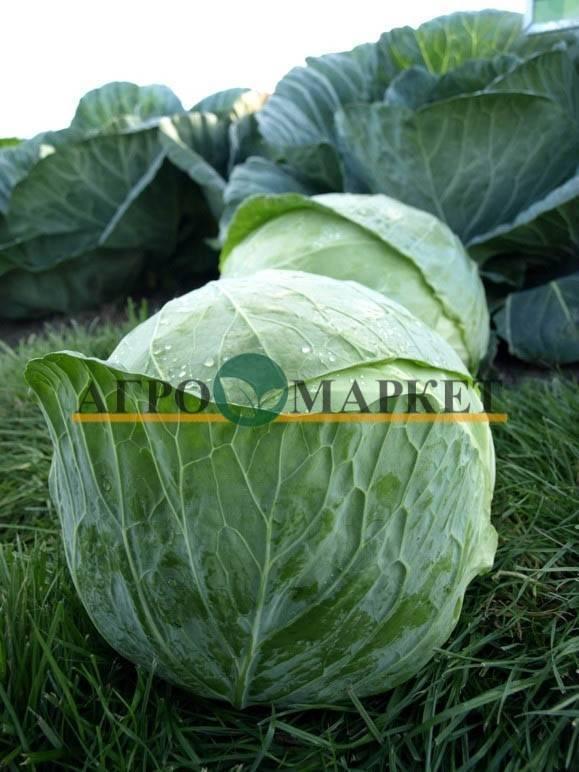 Капуста центурион f1: общая характеристика и достоинства этого сорта, правила выращивания семян и сбора урожая, а также методы борьбы с вредителями