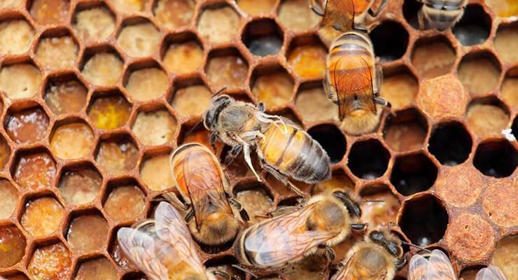 Симптомы, лечение и профилактика нозематоза пчёл