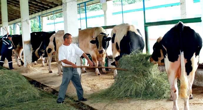 О спаривании коровы и быка (схема синхронизации коров, применение эстрофана)