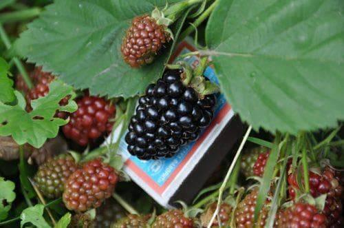 Чем примечательна ежевика блэк сатин: подробное описание сорта