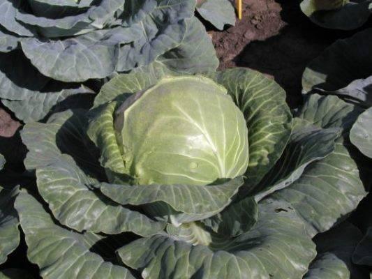 Поздняя капуста экстра f1: неприхотливость в выращивании и отличный вкус