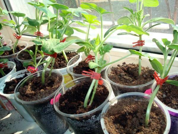 Как привить дыню на тыкву