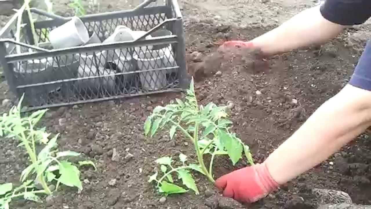 Рассада помидор тонкая и длинная что делать
