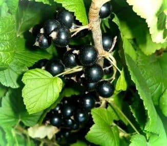 Сорт смородины черный жемчуг