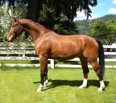 Ганноверская порода лошадей: история выведения, характеристики