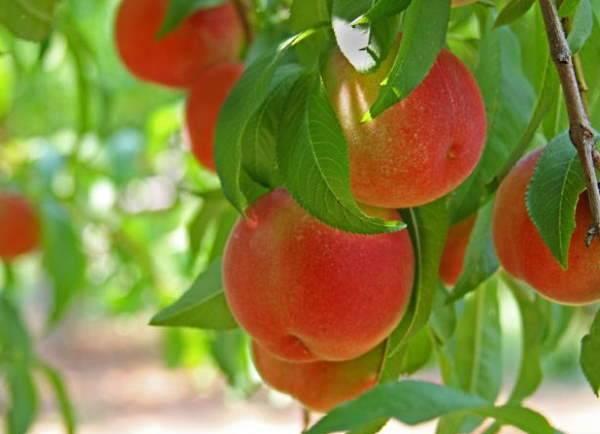 Удобрения для персика осенью, особенности ухода - общая информация - 2020