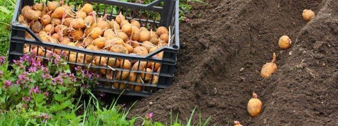 Картофель невский: правила получения хорошего урожая
