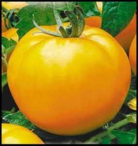 Сорт помидор «апельсин»