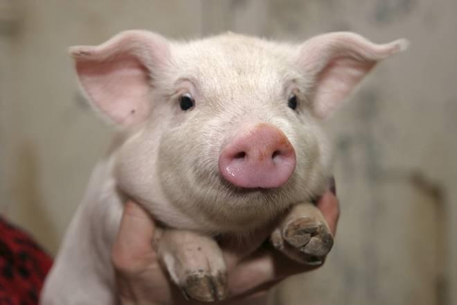 Температура у свиньи: нормальные значения и способы измерения – клуб любителей хрюш
