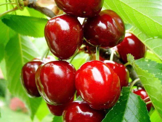 Плодовый сад и питомник - вишня и черешня наиболее интересные сорта