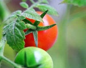 Томат сибирский скороспелый: характеристики, урожайность, особенности выращивания и ухода