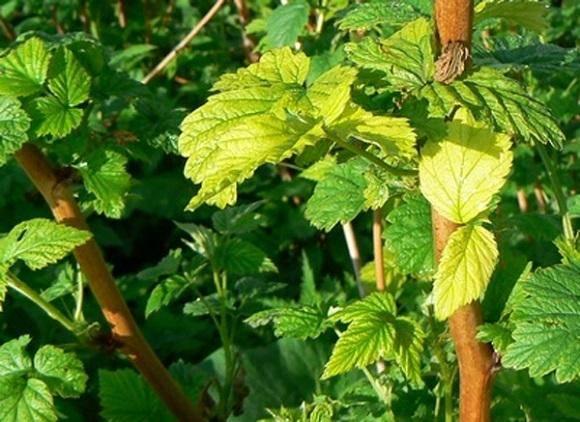У смородины бледные листья чем подкормить весной, летом и осенью: обработка и уход смородины (фото + видео)
