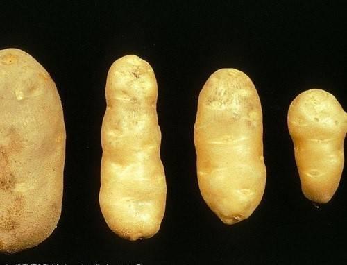 Болезни картофеля: описание с фото, виды, как лечить