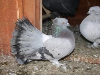 Голуби павлины: описание породы, особенности ухода и кормления