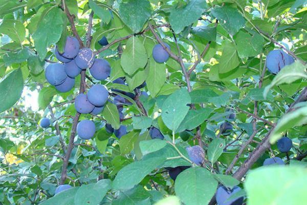 "Слива ""яичная синяя"": описание сорта и фото, характеристики и особенности выращивания"