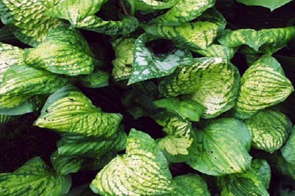 Болезни и вредители хосты. как спасти растение?