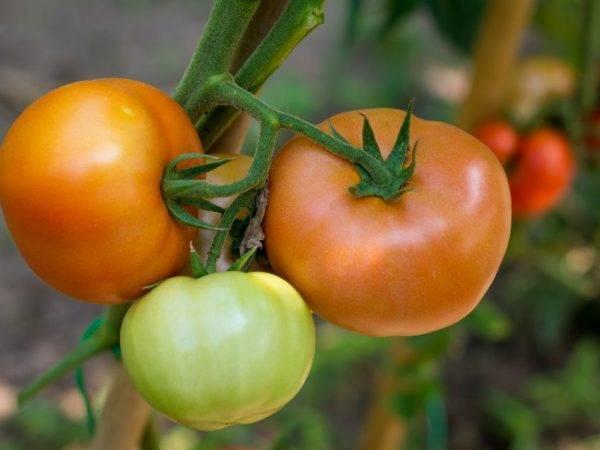 Выращивание томата подарочный