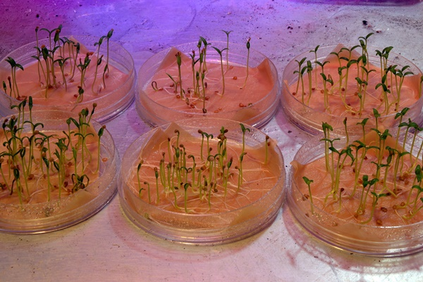 Проращивание семян помидоров на рассаду