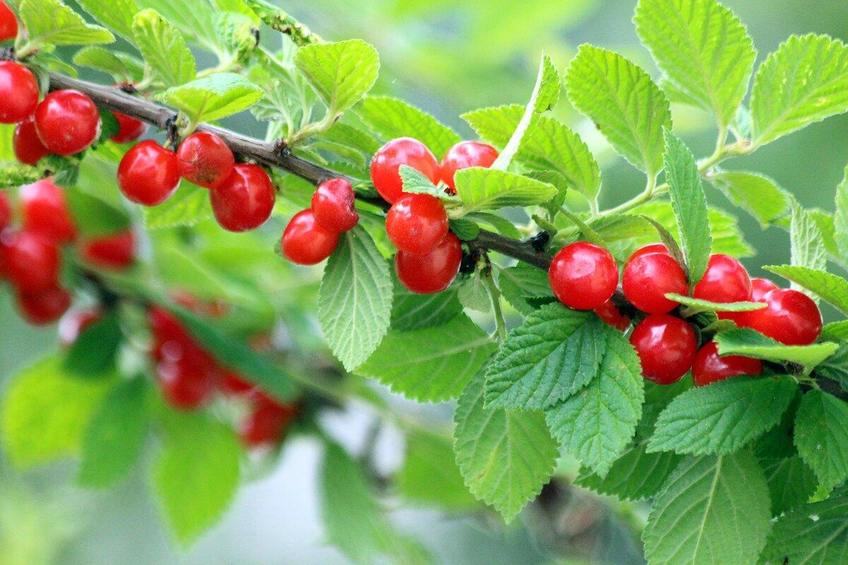 Почему не плодоносит вишня: что делать, причины проблемы