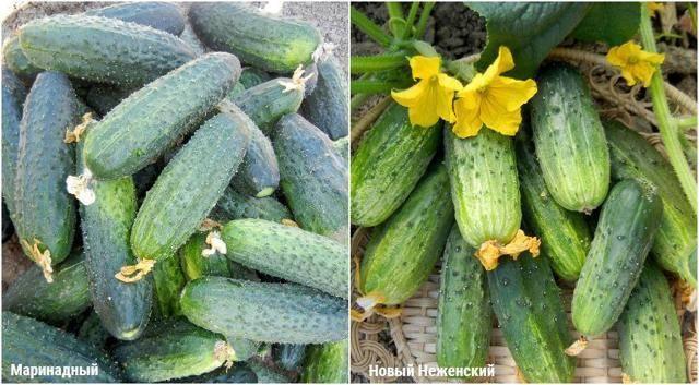 Огурец дамский угодник f1: отзывы, фото, урожайность