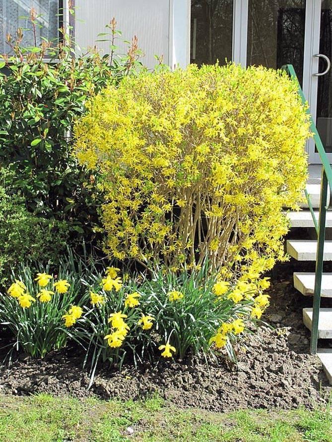 Виды форзиции: декоративный куст, приветствующий весну