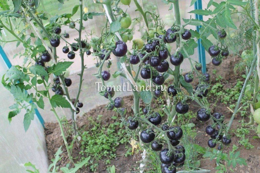 Томат Индиго роуз: характеристика и описание сорта