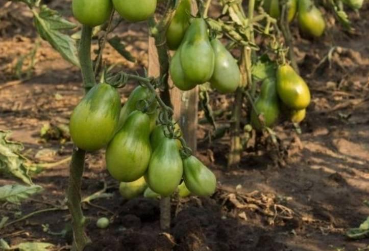 Сорт томата московская грушовка: фото и описание