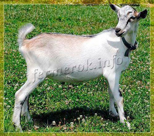 История происхождения альпийских коз