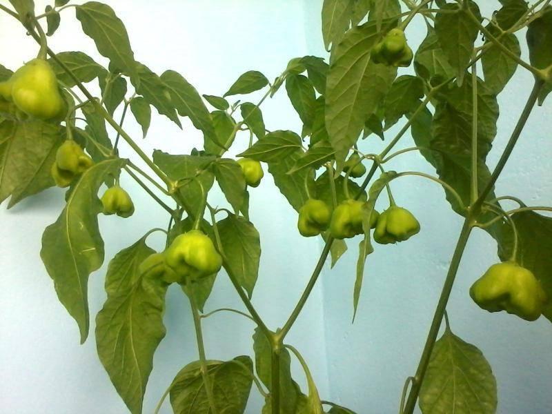 Горький перец колокольчик: как выращивать в теплице, характеристика и описание сорта