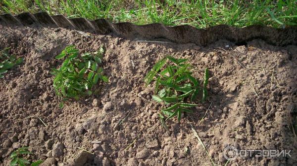 Полезные свойства и возможный вред тибетской малины