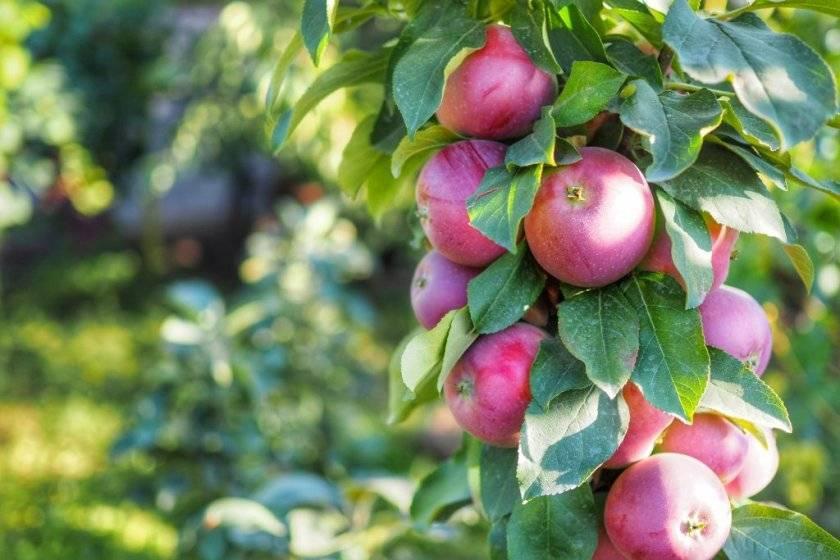 Обрезка колоновидных яблонь (22 фото): как правильно обрезать, схема формирования и уход за деревом летом и весной