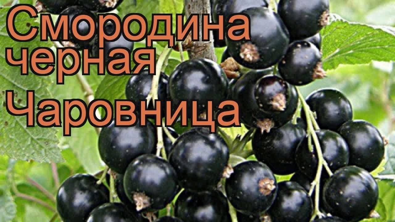 Черная смородина Чаровница: описание сорта, фото, отзывы