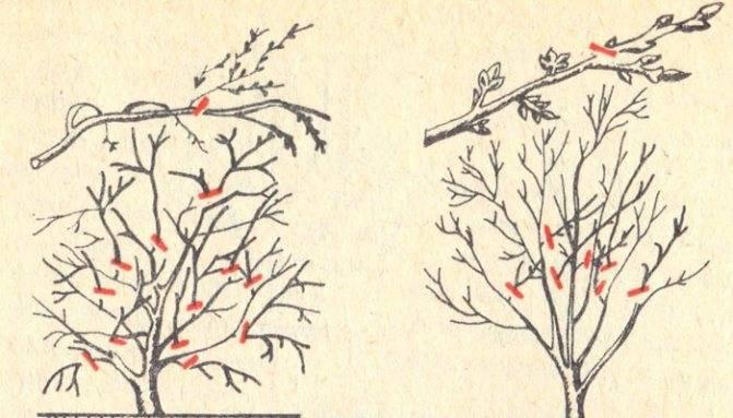 Вишня муза: описание сорта и характеристика, особенности посадки и ухода