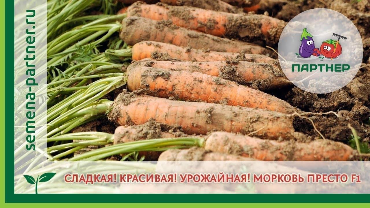 Топ-80 самых лучших сортов моркови на любой вкус и цвет